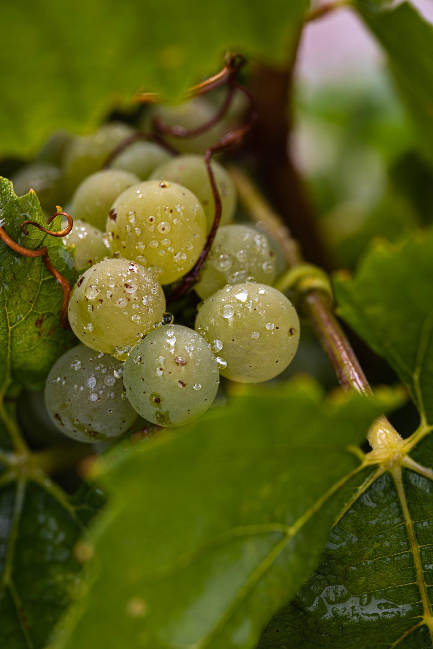 Grappe de raisins Chardonnay - Reportage photo Champagne Antoine Chevalier - Agence Discovery