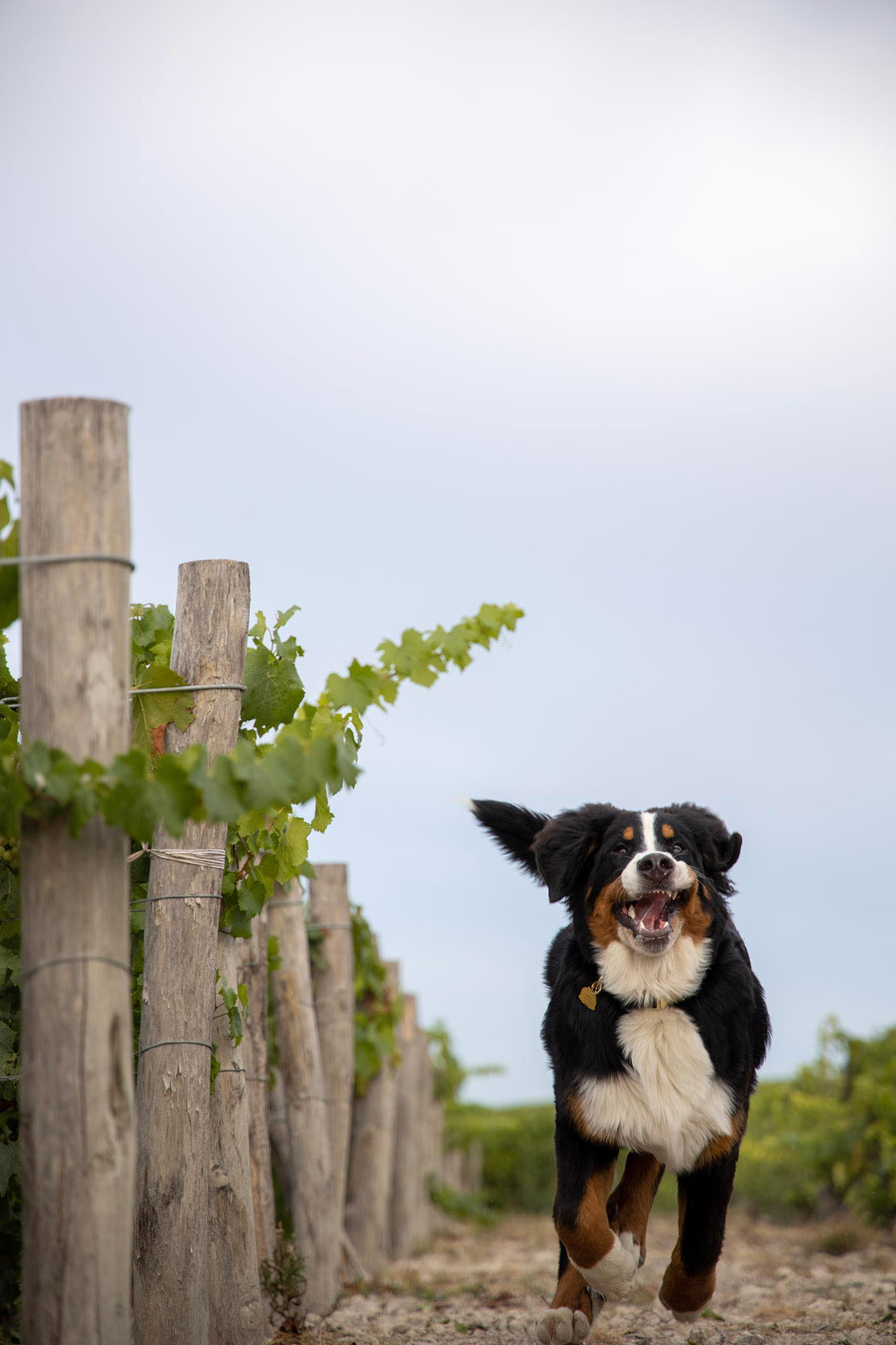 Chien lors du reportage photo du Champagne Antoine Chevalier - Agence Discovery
