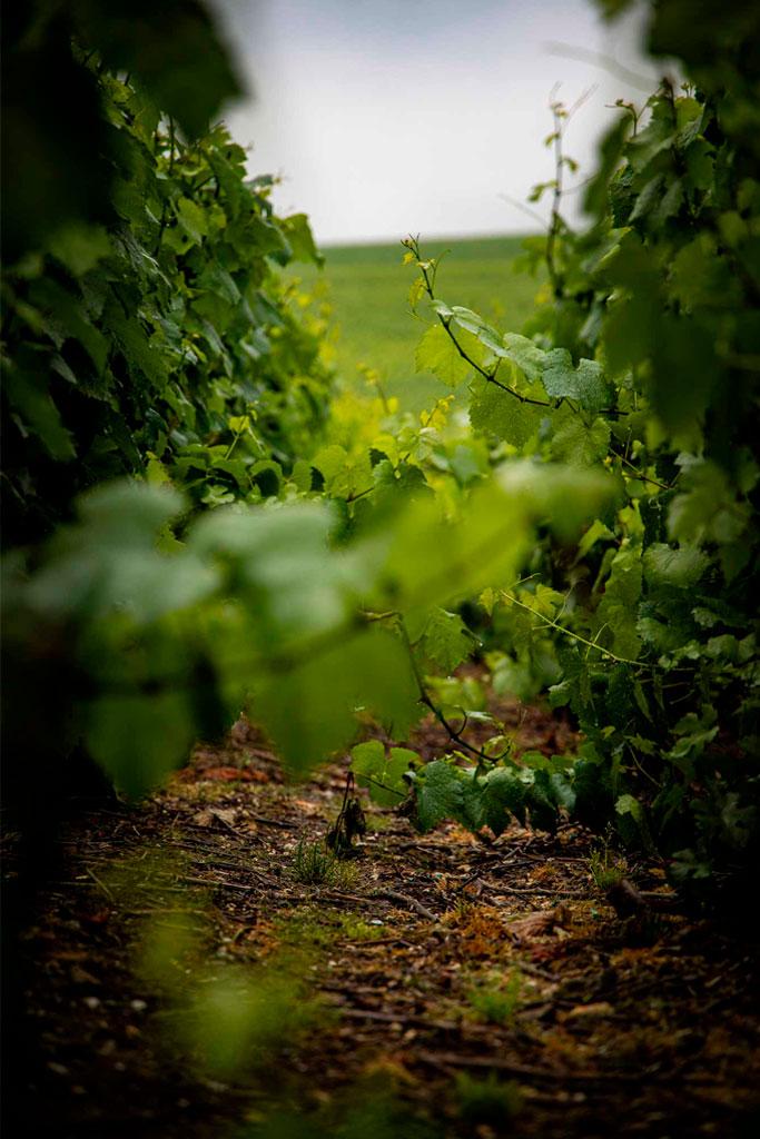 Vignes Champagne Benoit Cocteaux