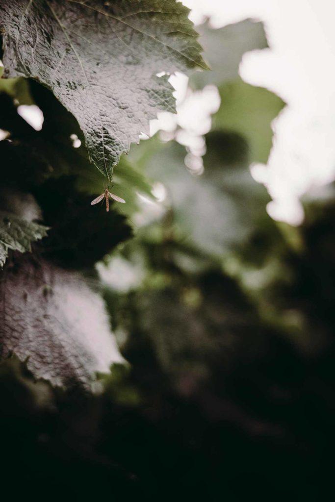Feuilles de vignes - Identité terroir du Chamapgne Benoît Cocteaux - Agence Discovery branding Reims