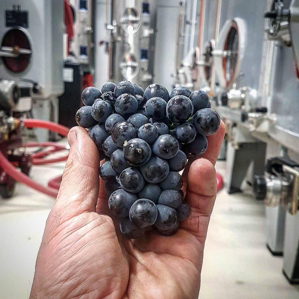 Grappe de raisins - Champagne R. Faivre - Podcast Les Nouveaux Explorateurs - Agence Disovery Reims