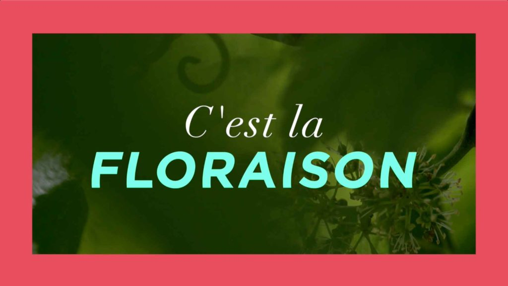 La floraison de la fleur de vigne par le Champagne Nicolas Feuillatte - Réalisation Agence Discovery Reims